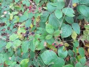 brambles low res